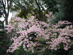 20080327原宿東郷神社のさくら3