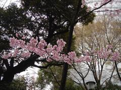 20080327原宿東郷神社のさくら2