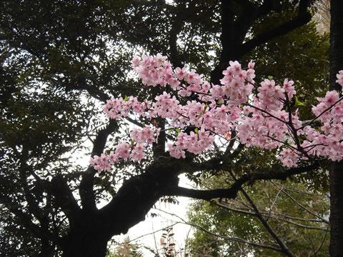 20080327原宿東郷神社のさくら1