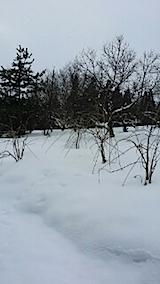 20140209八重紅枝垂れ桜1