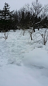 20140209八重紅枝垂れ桜2