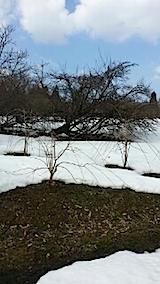 20140317八重紅枝垂れ桜のある斜面