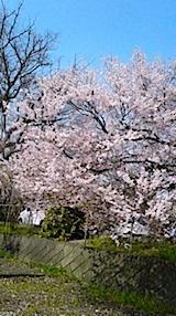 20140416会津美里町宮川の千本桜3