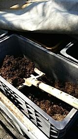 20140413堆肥をラベンダーの苗へ1
