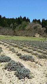 20140413ラベンダーの畑1
