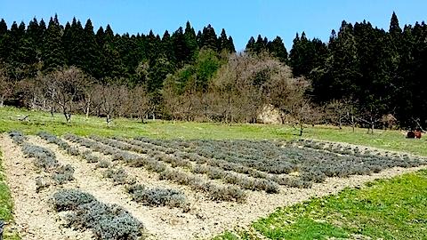 20140413ラベンダーの畑2