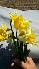 20140413スイセンの花