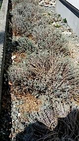20140413堆肥をラベンダーの苗へ2