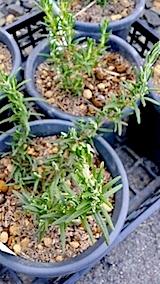 20140414ローズマリーの鉢植え