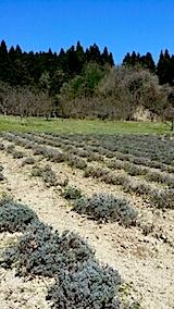 20140414ラベンダーの畑1