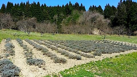 20140414ラベンダーの畑2