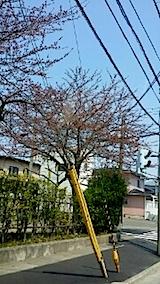 20140415小学校前の桜の木