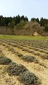 20140415ラベンダーの畑2