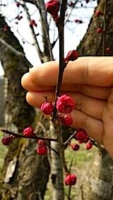 20140415花梅の開花1