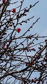 20140415花梅の開花2