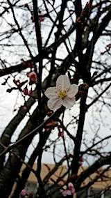 20140415桜の開花1