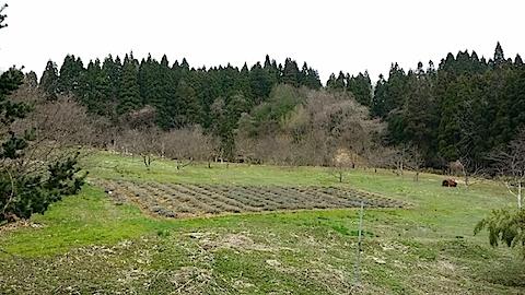 20140416ラベンダーの畑1