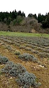 20140416ラベンダーの畑2