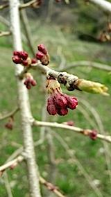 20140416八重紅枝垂れ桜のつぼみ