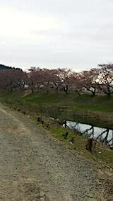 20140421太平川沿いの桜並木1