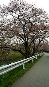 20140421太平川沿いの桜並木2
