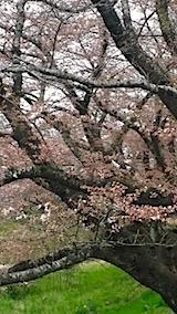 20140421太平川沿いの桜並木3