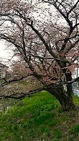 20140421太平川沿いの桜並木4