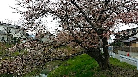 20140421太平川沿いの桜並木5