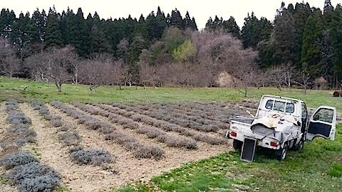 20140421ラベンダーの畑2