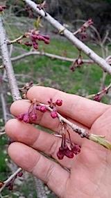 20140421八重紅枝垂れ桜のつぼみ