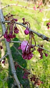 20140424八重紅枝垂れ桜の花