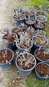 20140424鉢植えの土入替作業1