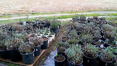 20140424鉢植えの土入替作業2