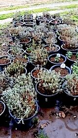20140424鉢植えの土入替作業3