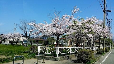 20140429秋田満開の桜