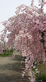 20140429喜多方市の枝垂れ桜2