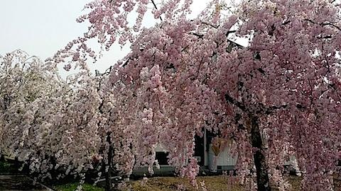 20140429喜多方市の枝垂れ桜1