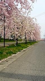 20140429喜多方市の枝垂れ桜3