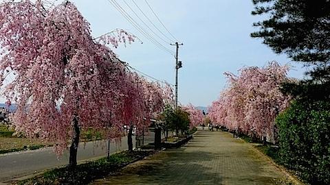20140429喜多方市の枝垂れ桜5
