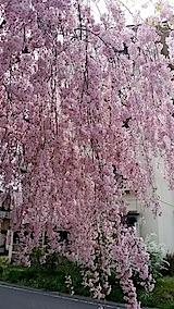 20140429喜多方市の枝垂れ桜8