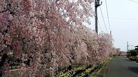 20140429喜多方市の枝垂れ桜7