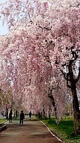 20140429喜多方市の枝垂れ桜9