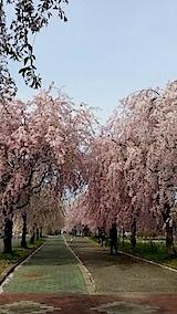 20140429喜多方市の枝垂れ桜10