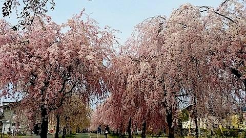 20140429喜多方市の枝垂れ桜11