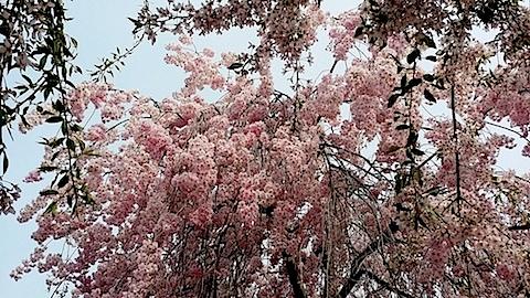 20140429喜多方市の枝垂れ桜12