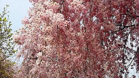 20140429喜多方市の枝垂れ桜13