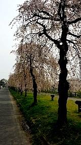 20140429喜多方市の枝垂れ桜16