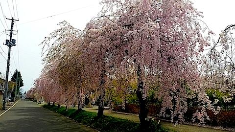 20140429喜多方市の枝垂れ桜14