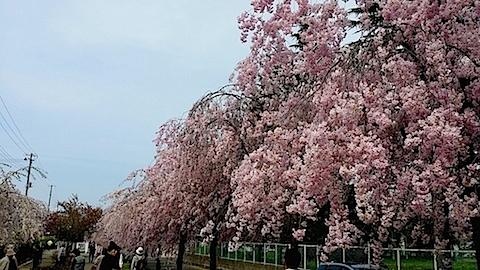 20140429喜多方市の枝垂れ桜15