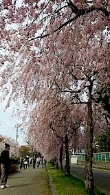 20140429喜多方市の枝垂れ桜17